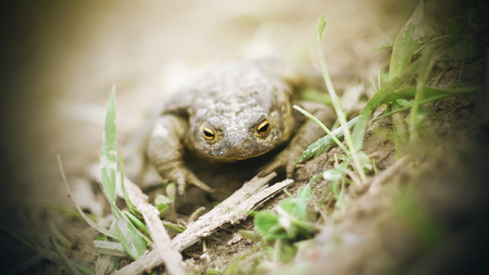 A yellow-eyed toad soiled in mud sits on the wet ground among the green grass on a Sunny day. Фото со стока