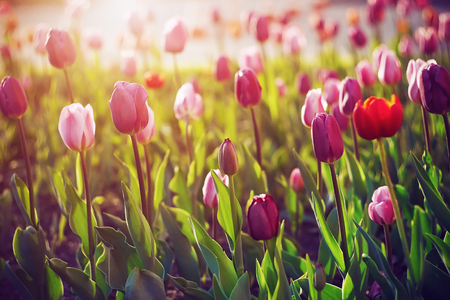 Beautiful pink, red and crimson tulips grow in the clearing, illuminated by the bright rays of the sunset Фото со стока
