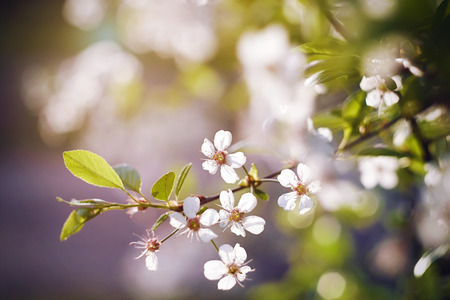 Delicate sprig of white cherry blossoms with the young leaves, lit a pleasant afternoon sunlight in the spring.