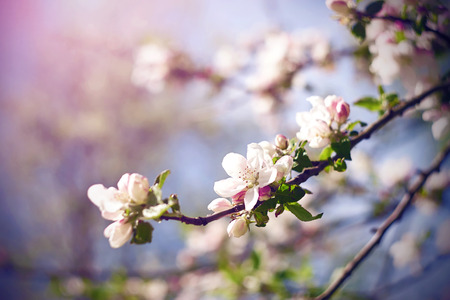 Branches of a flowering Apple tree, which grow white delicate flowers with pinkish petals, illuminated by sunlight.