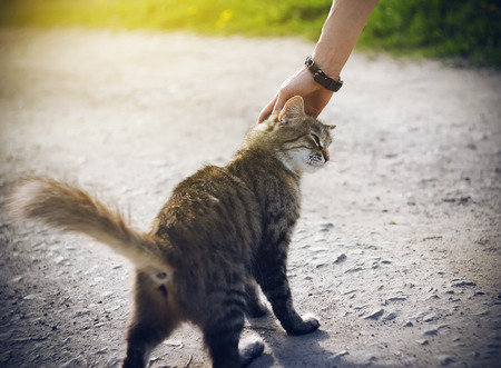 A womans hand with a bracelet stroking a young striped homeless fluffy kitten who playfully raised his tail and stands on a rural road