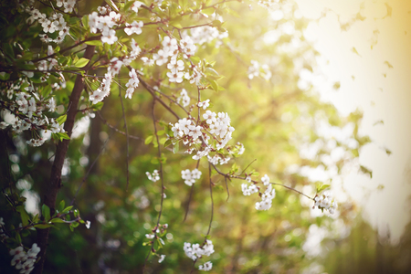 Delicate flowering branches with cherry blossoms in the garden are illuminated by bright midday sunlight