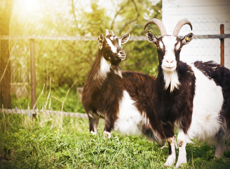 Two spotted beautiful goats stand near a fence in a meadow on a farm, illuminated by sunlight on a summer day. Фото со стока