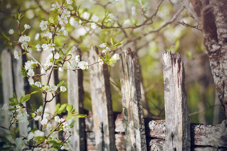 Delicate white flowers that bloom in the spring, bloom next to an old rustic wooden fence.