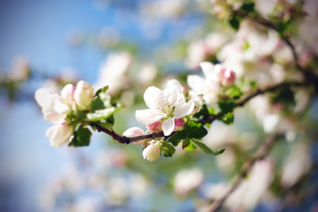 In spring, the branches of the Apple blossoming white and pink delicate beautiful flowers, illuminated by bright sunlight.