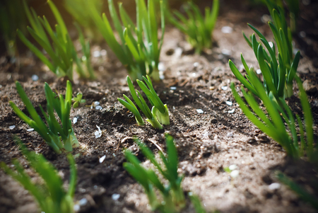 Young fresh green shoots of onions in the garden, illuminated by sunlight, in the spring, when falling flower petals.