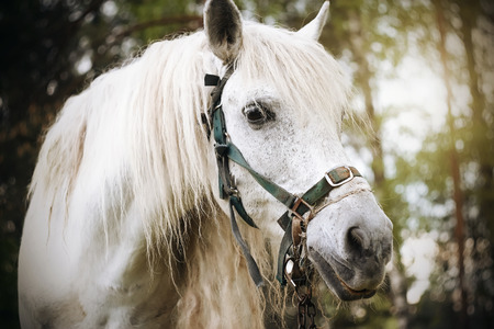 Portrait of a beautiful white horse with a long mane, standing against a pine forest, illuminated by sunlight.