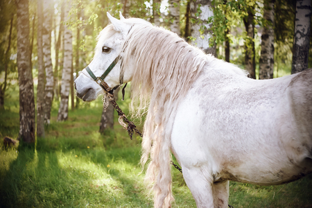 A beautiful white horse with a curly long mane on the background of a birch grove, illuminated by sunlight in the summer. Stock Photo