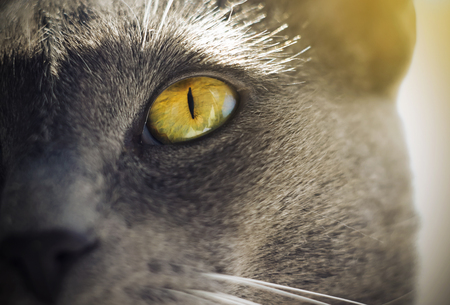 Beautiful with a narrow pupil yellow-green bright eye of a gray cat, illuminated by summer sunlight.