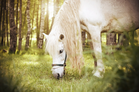 A beautiful white horse with a long mane walks on a rural pasture among the birch forest and chews grass in the daytime, while the suns rays make their way through the crowns of trees. 写真素材