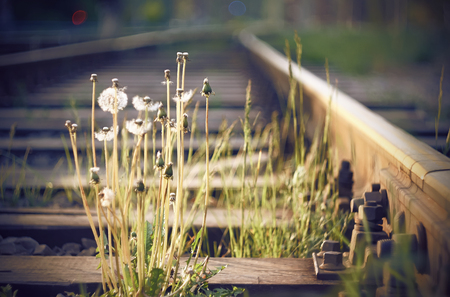 Old rusty abandoned rails with wooden sleepers, among which grow dandelion flowers, some of which are already fluffy, and some have faded.