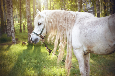 A beautiful white horse with a long curly mane grazes in a meadow near a birch grove, illuminated by sunlight passing through the crowns of trees Фото со стока