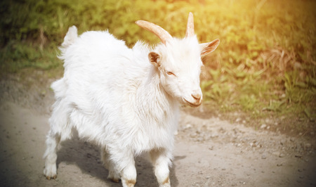 A little white goat rides joyfully along the village road in the summer on a Sunny day.