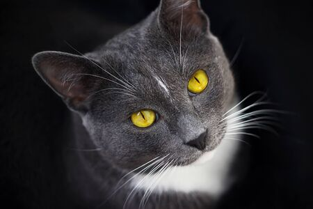 A beautiful grey cat with bright yellow eyes, a black nose and a white spot on his forehead sits in the darkness and looks up