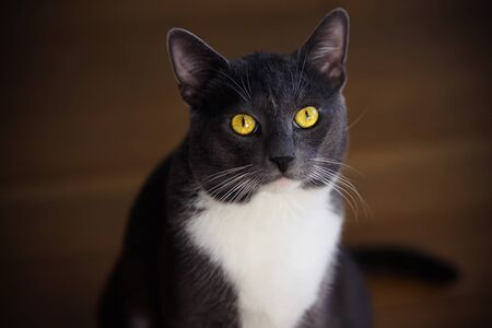 Beautiful gray house cat with bright yellow eyes and white spot on his forehead looks up at masters questioning glance.