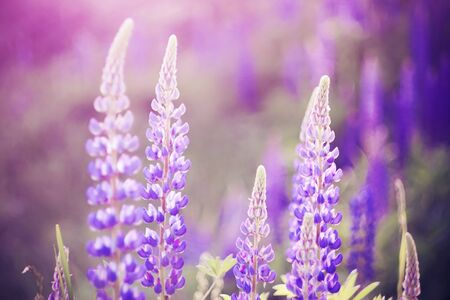 Bright pink fragrant flowers of lupine blossom in the field, completely overgrown with flowers, on a Sunny summer happy day. Stock fotó
