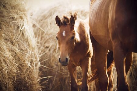 Little cute shy foal standing next to her mother near the large stacks of hay.
