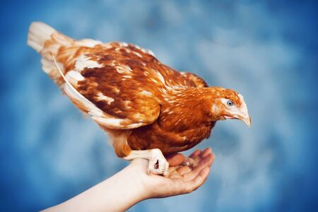 Bright red mottled chicken with a proud look sitting on the hand of a farmer on a blue background