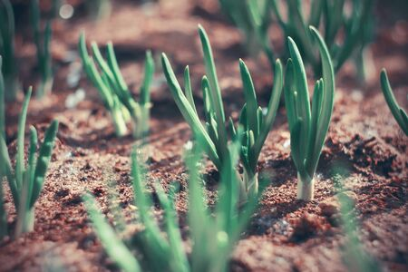 Young onion sprouts are drawn to sunlight, growing out of the fertile land.