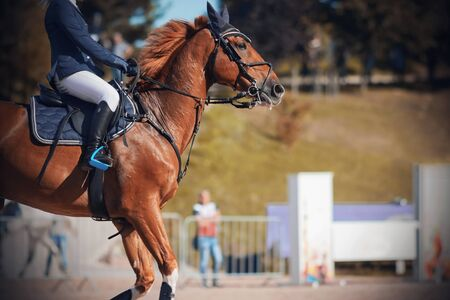 A beautiful red horse with a flowing mane and a rider in the saddle quickly gallops through the sandy arena in equestrian competitions Stock Photo