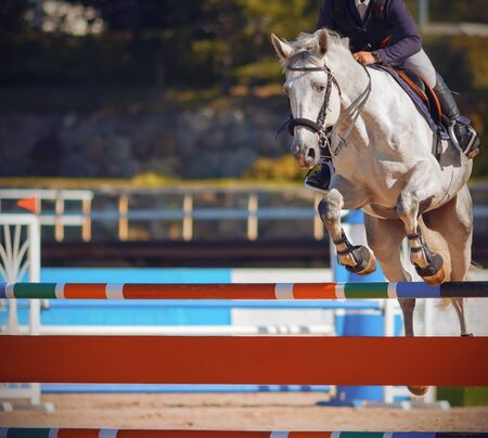 A white beautiful strong horse with a rider in the saddle jumps over a colorful bright barrier at jumping competitions in the summer.