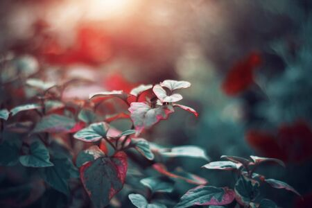 Delicate with a scarlet border leaves plants grow in the garden and illuminated by the pleasant light of the sun