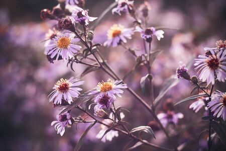 Lilac delicate fragrant Aster in bloom and fade, lit by a pleasant sunlight. Stok Fotoğraf