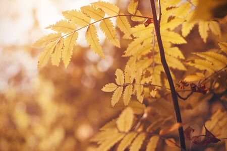 Yellowed carved leaves of rowan lit by sunlight, in warm autumn time september.