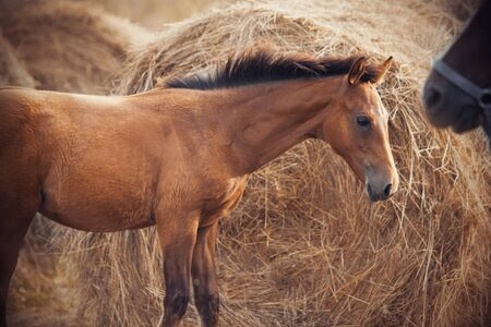 Shy cute chestnut foal standing next to a huge haystack, looking furtively at her mother, at the muzzle which is wearing the halter Reklamní fotografie
