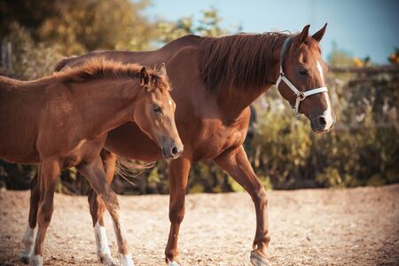 Cute fluffy red colt walks with his mother, whose muzzle is wearing a halter, in the paddock on the farm.