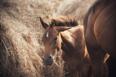 Funny Bay foal standing near its mother Bareback and huge stacks of hay on the farm.
