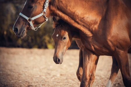 A small young colt hides behind his mother, whose muzzle is wearing a halter, while walking around the paddock.