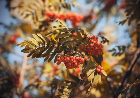 Heavy bunches of ripening berries, illuminated by the sunlight, hang on the thin graceful branches of a Rowan tree among the lush foliage.