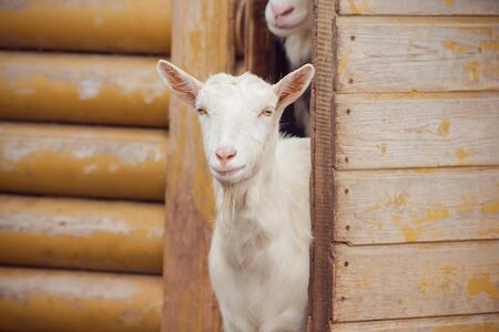 A white, sweet, inquisitive goat peeped out from the yellow old barn in the village where the rest of the herd sits.