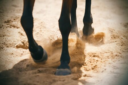 The hooves of a Bay horse, running on a sandy arena, raise sand dust, which is illuminated by the rays of the sun.