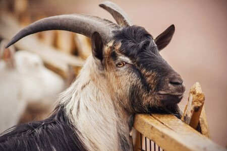 A portrait of a sweet, contented goat with curved horns and a long beard, resting his head on the wooden fence of the paddock.