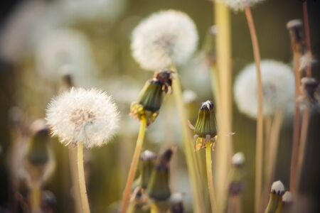 Fluffy fragile dandelion heads, dotted with seeds, on long stems grow next to the already withered flowers. Cycle of life. Stockfoto
