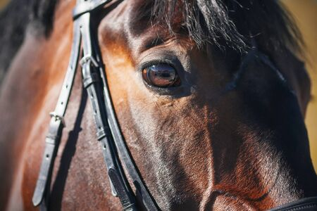 The sunlit muzzle of a Bay horse wearing a bridle, with a dark fluffy mane and a beautiful eye close-up. 写真素材