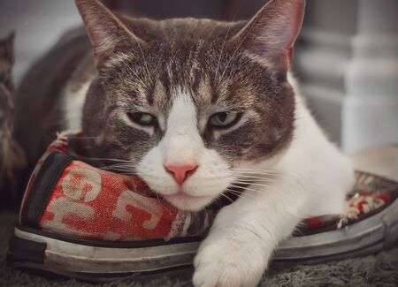 A disgruntled tabby house cat lies on a sporty red shoe and frowns because he considers the shoe his own.