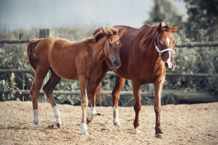 A sorrel colt and his unsaddled mother walk in the sawdust paddock of a farm on a Sunny, clear day.