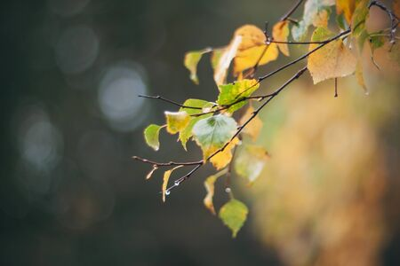 Birch branch with wet yellowed leaves in autumn, from which raindrops drip in sad November weather. 스톡 콘텐츠