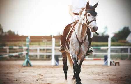 In the middle of the training field with barriers stands a gray horse, dressed in equestrian sports gear, and with a rider in the saddle, on a summer day. Imagens