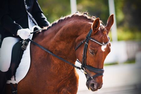 Portrait of a beautiful Bay horse with braided mane, which gallops with a rider in the saddle at a sporting event on a warm summer Sunny day.