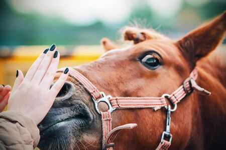 A womans hand gently strokes the nose of a sorrel pony with surprised eyes, on whose muzzle a red halter is put on.
