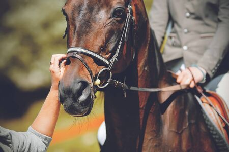 The muzzle of a beautiful, elegant Bay horse with a rider in the saddle and a groom adjusting the bridle with his hand on a Sunny summer day. Stockfoto