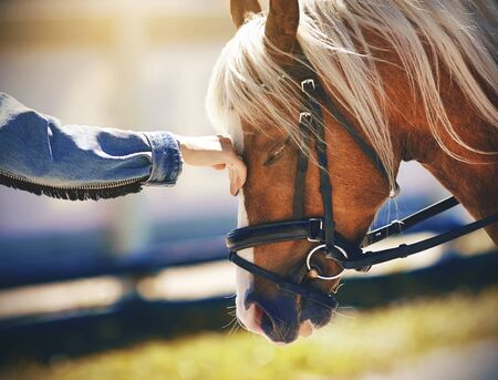 A female riders hand, dressed in a denim jacket, gently strokes the muzzle of a light-haired pony, illuminated by sunlight in the summer. 스톡 콘텐츠