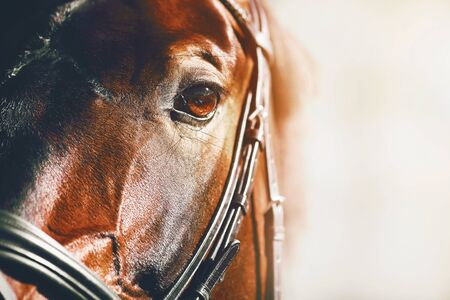 Close-up portrait of a beautiful Bay racehorse illuminated by sunlight. Stock Photo