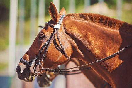 Portrait of a strong red racehorse with a short-cropped mane and a bridle on its muzzle on a Sunny summer day.