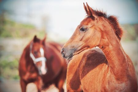 Portrait of a cute chestnut colt with a fluffy mane, behind which stands his mother with a halter on her muzzle.