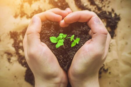 A person holds in his hands a handful of loose earth, from which a fresh young plant sprout grows, illuminated by sunlight. Concern for the environment. Plant transplantation. Stockfoto